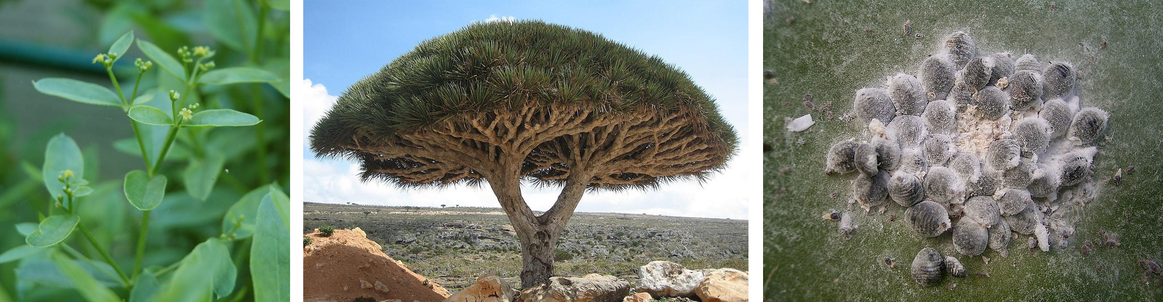 sources of red pigments: a madder plant, dragon tree, and female scale insects